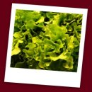 Lettuce Food Posioning